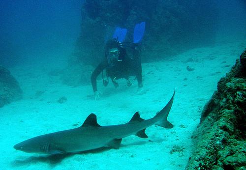 White tip shark Isla del Cano Costa Rica