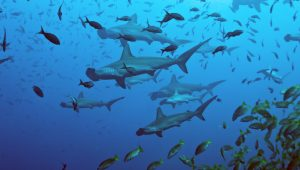 Hammerhead Sharks at Cocos Islands Costa Rica