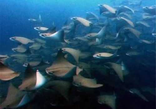 Cow nose rays in Costa Rica with Bill Beard's
