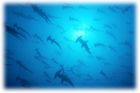 Hammerhead sharks in Cocos Island, Costa Rica with Bill Beard's