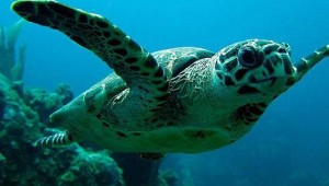 turtle scuba diving in costa rica