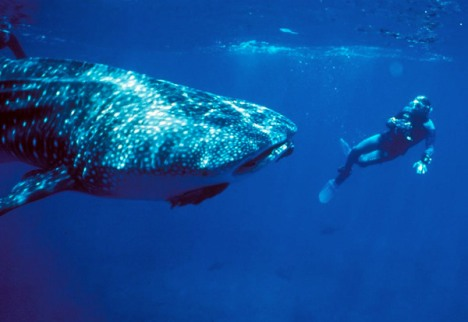 Whale Shark In Costa Rica