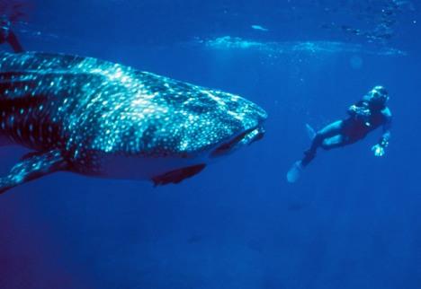 Whale Shark In Costa Rica
