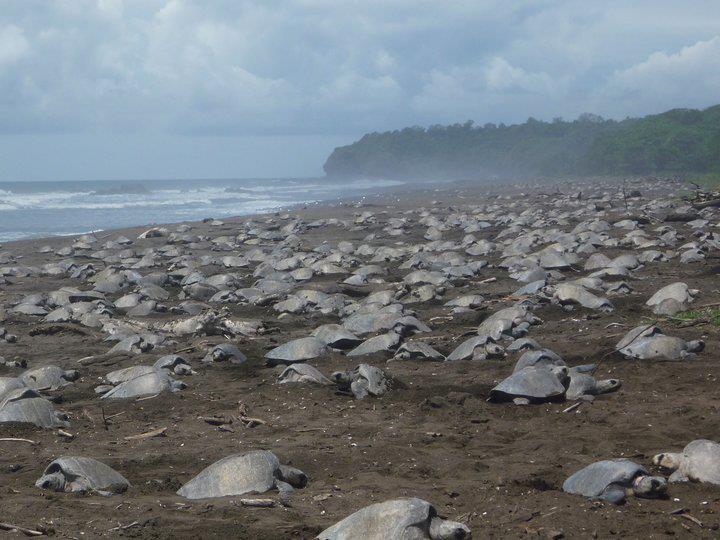 Turtle Arribada Costa Rica