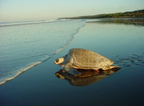 turtle watching in costa rica