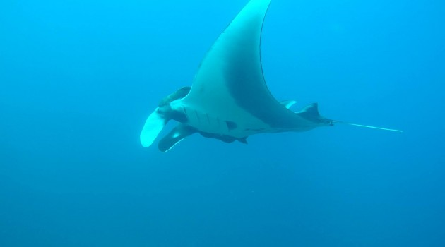 Manta Ray in Northwest Pacific Ocean of Costa Rica
