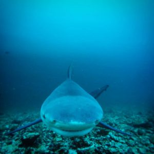 Bull Shark at Bat Islands Costa Rica