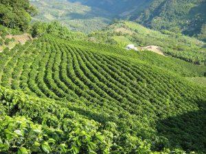Doka Coffee Plantation In Costa Rica With Bill Beard's