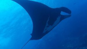 Costa Rica manta ray in Pacific Ocean